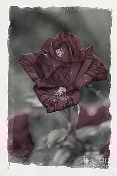 Summer Rose fantasy by Valerii Tkachenko