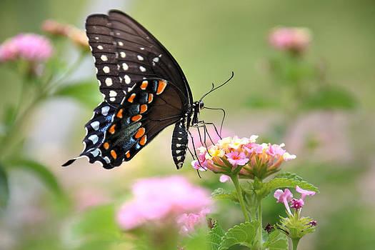 Summer Swallowtail by Lorri Crossno