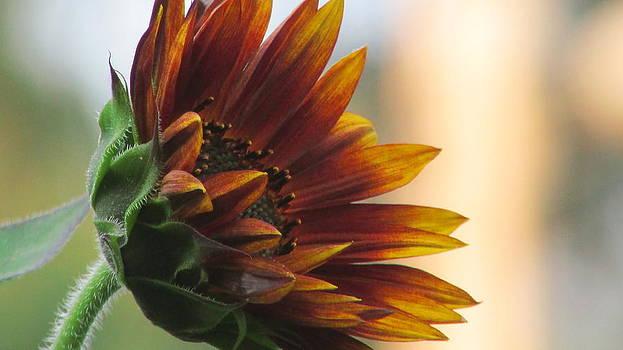 Summertime Sunflower by Debra Madonna