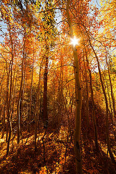 Sun and Aspen Trees Lundy Canyon CA by Troy Montemayor