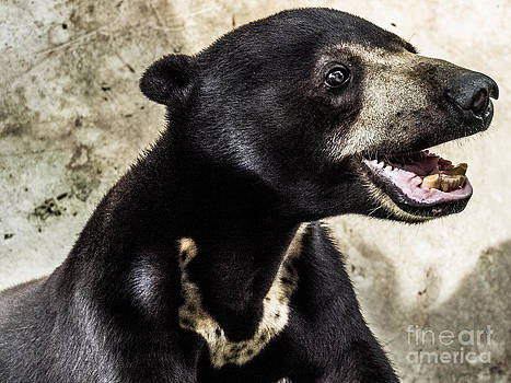 Sun Bear by Will Cardoso
