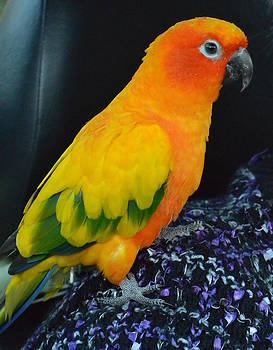 Nicki Bennett - Sun Conure Parrot