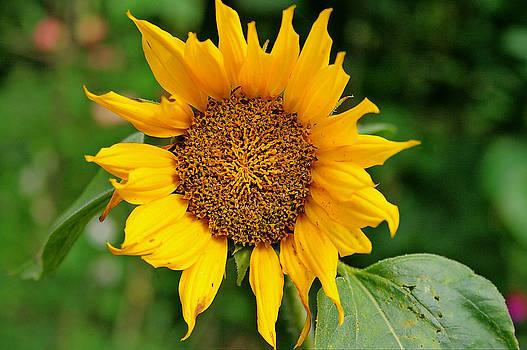 Sun Flower by David Valentyne