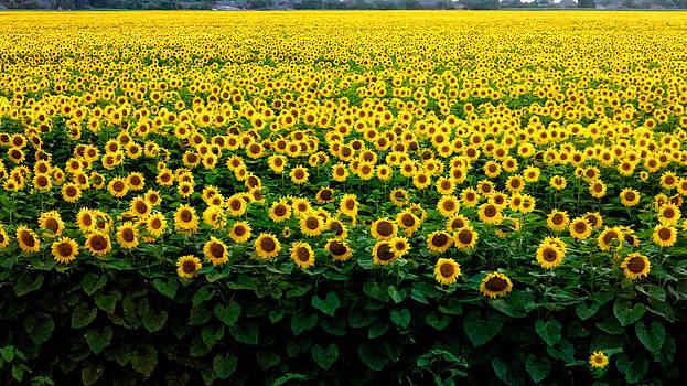 Sun Flower Field  by Brian Orlovich