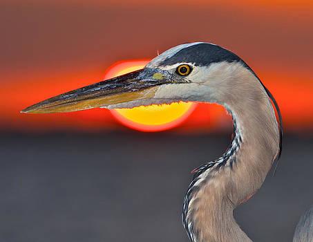 Sun-Framed Florida Heron by Jay Campbell