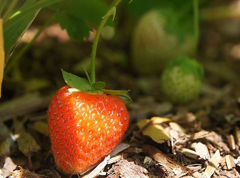 Sun Kissed Strawberry by Kristine Bogdanovich