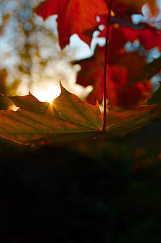 Sun Leaf by Jesse Wright