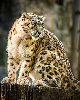 Sun Leopard Portrait by Chris Boulton