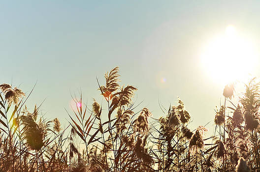 Sun Shining Over Reed Grasses by Tetyana Kokhanets