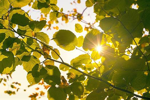 Sun shining through leaves by Chevy Fleet