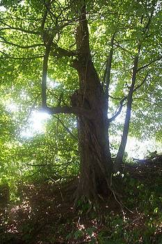 Sun through old maple tree by Diane Mitchell