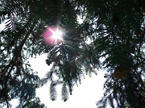 Sun through the Pine by Terrilee Walton-Smith