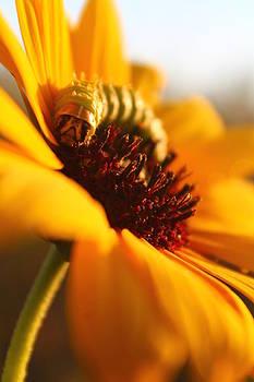 Sunbathing Caterpillar by Alicia Knust