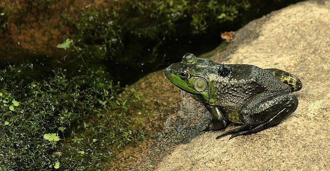 Rosanne Jordan - Sunbathing Frog