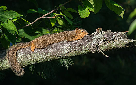 Sunbathing Squirrel by Christopher L Nelson