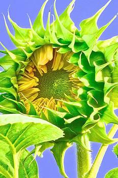 Christine Belt - Sunbathing Sunflower