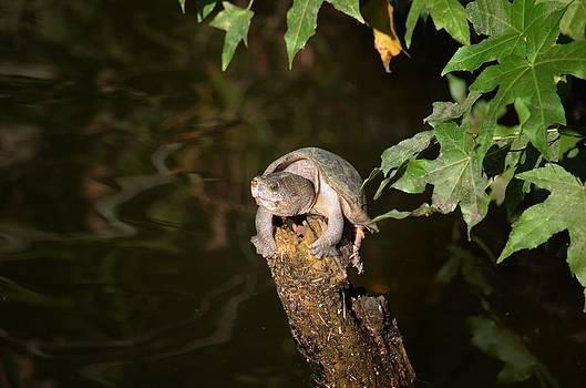 Maria Urso  - Sunbathing Turtle