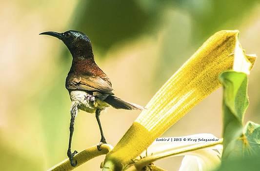 Sunbird by Virag Yelegaonkar