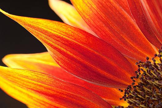 Sunflower #3 by Rebecca Skinner