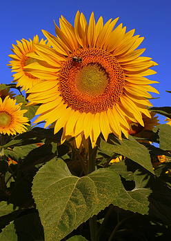Sunflower and Bee in Blue by Suzanne DeGeorge