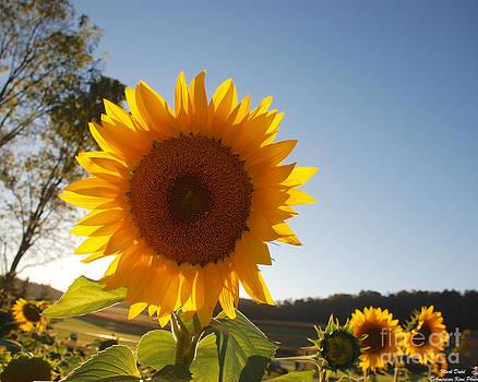 Mark Dodd - Sunflower backlit