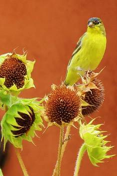 Feva  Fotos - Sunflower Buffet