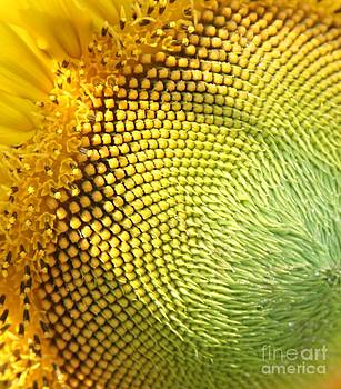 Sunflower Center by Freda Sbordoni