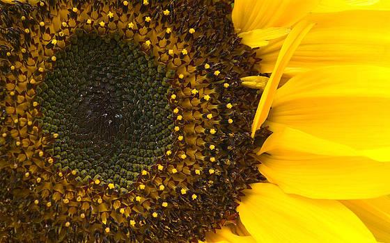 Jane McIlroy - Sunflower Closeup