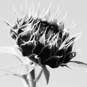 Sunflower Crown Series 1 by Joseph Desmond