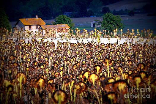 Sunflower Field by Arie Arik Chen