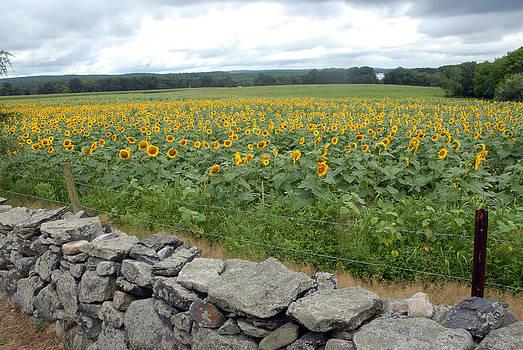 Sunflower Field by Donna Desrosiers