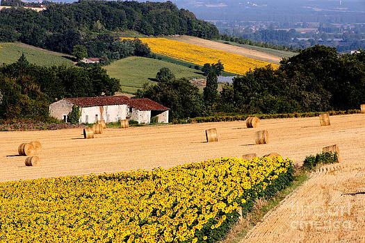 Sunflower field by Frances Hodgkins