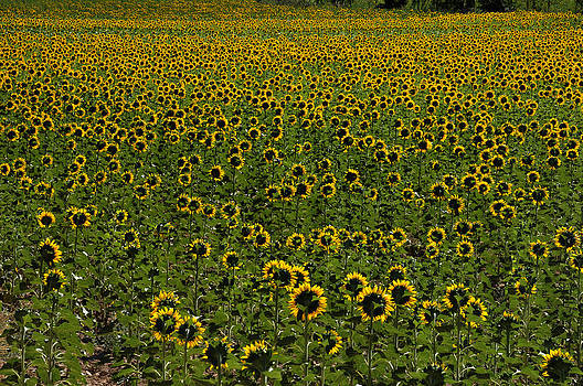 Sunflower Field by Henrique Souto