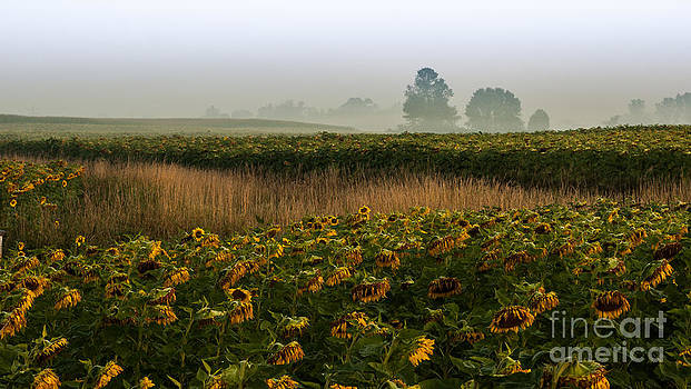 Sunflower Field by Vicki Kohler