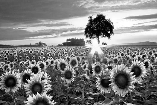 Debra and Dave Vanderlaan - Sunflower Fields in Black and White