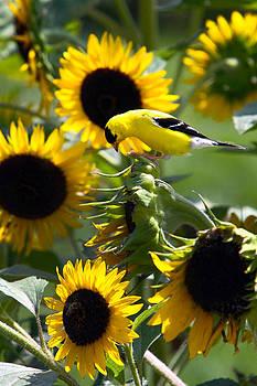 Sunflower Finch by David Yunker