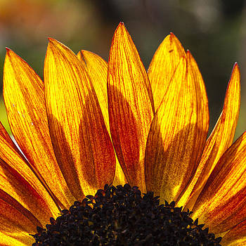 Sunflower Flames I by Matthew Bruce