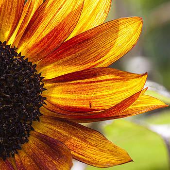 Sunflower Flames II by Matthew Bruce