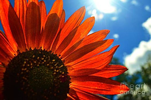 Sunflower Glow by Sharon L Stacy