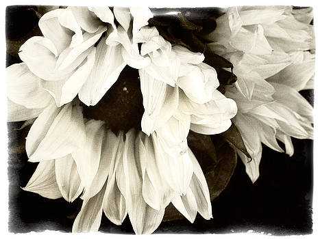 Sunflower In Black and White 1 by Tanya Jacobson-Smith