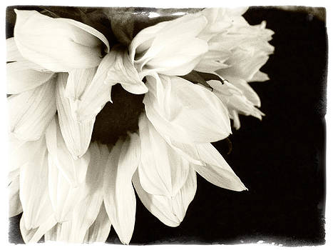 Sunflower In Black and White 2 by Tanya Jacobson-Smith