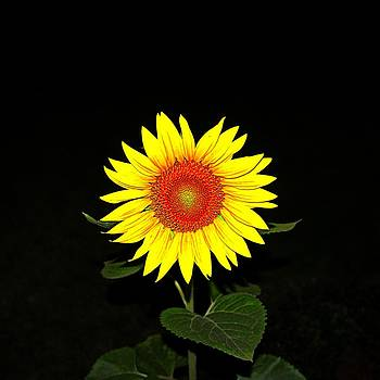 Sunflower in the Night by Nick Kloepping