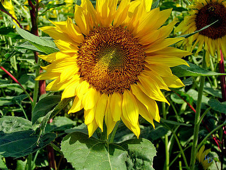 Sunflower by L and D Design Photography