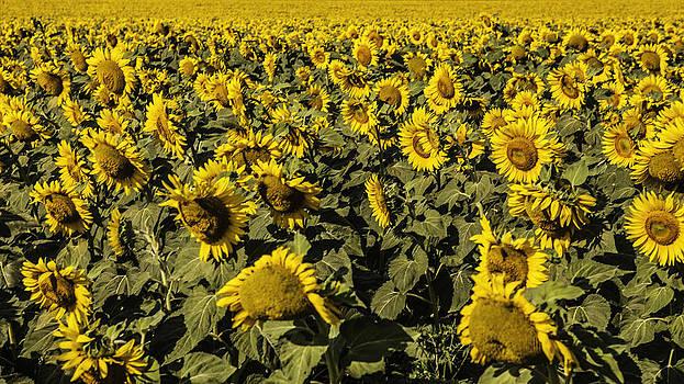Sunflower landscape by Valerii Tkachenko
