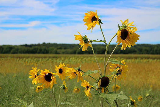 Sunflower Maze Survivors by Denise Keegan Frawley