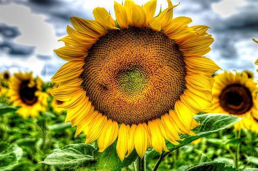 Sunflower by Oliver Svob