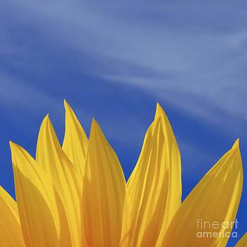Sunflower Petals Series 1 by Joseph Desmond