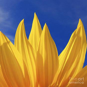Sunflower Petals Series 2 by Joseph Desmond