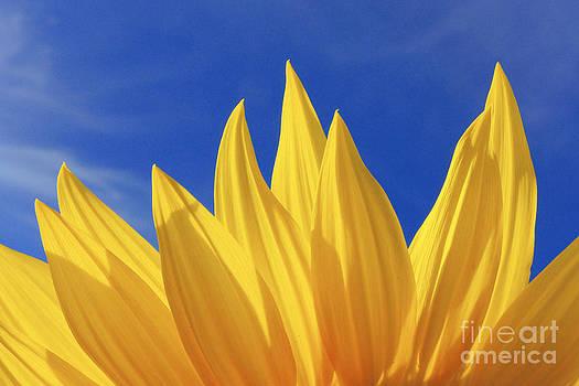 Sunflower Petals Series 3 by Joseph Desmond