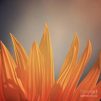 Sunflower Petals Series 4 by Joseph Desmond